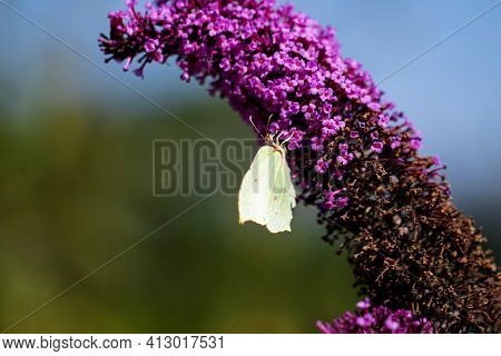 A Portrait Of A Common Brimstone Butterfly Sitting On A Butterfly-bush With Small Purple Flowers The