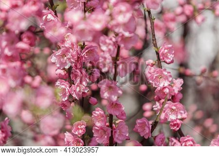 Beautiful And Cute Pink Cherry Blossoms (sakura) Against Blue Sky.botanical Garden, Sakura Blossoms,