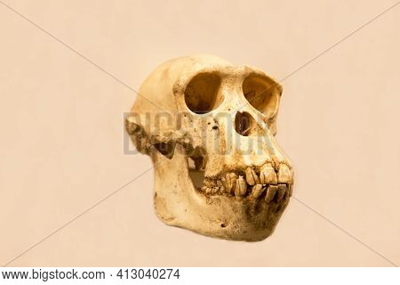 The Skull Of A Female Chimpanzee With A Lower Jaw (latin: Pan Troglodytes) Is Isolated On A White Ba