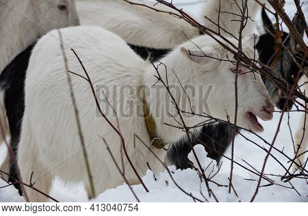 Goat In The Forest Among The Trees And Branches In The Winter In The Forest.
