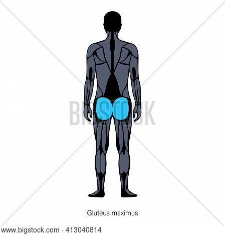 Human Muscular System Anatomical Poster. Gluteus Medius And Gluteus Maximus In Male Body. Structure