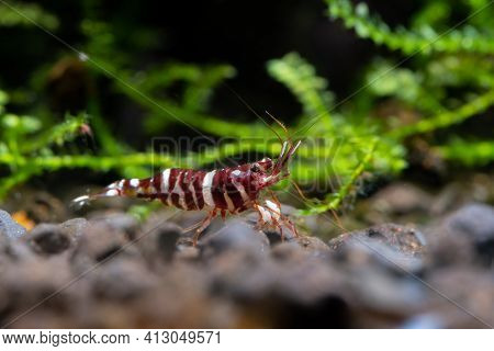 Sulawesi Dwarf Shrimp Tigri Type Look For Food In Aquatic Soil In Fresh Water Aquarium Tank With Gre