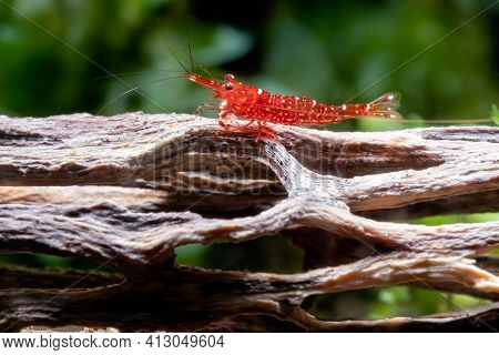 Red Orchid Sulawesi Dwarf Shrimp Stay On Timber In Fresh Water Aquarium Tank With Green Algae As Bac