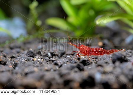 Red Orchid Sulawesi Dwarf Shrimp Look For Food In Aquatic Soil In Fresh Water Aquarium Tank With Gre
