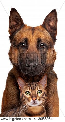 Belgian Shepherd Dog And A Tabby Cat Portrait Looking At The Camera Isolated On A White Background