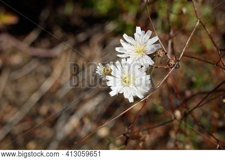 White Blooming Ligulate Head Inflorescences Of Cliff Aster, Malacothrix Saxatilis, Asteraceae, Nativ