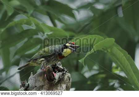 A Beautiful Coppersmith Barbet Or Crimson Breasted Barbet (psilopogon Haemacephalus) Is Sitting On A