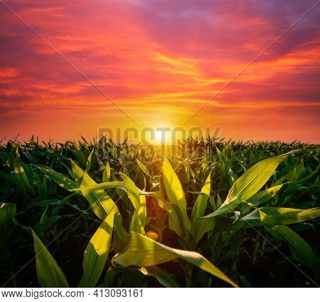 The agricultural land of a green corn farm with a perfect sky. Location place of Ukrainian agricultural region, Europe. Corn grown in farmland and cultivated fields. Photo wallpaper. Beauty of earth.
