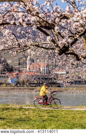 Apricot Tree With Biker Against Church In Spitz Village, Wachau Valley, Austria