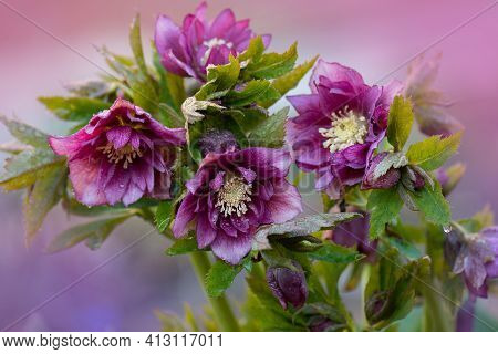 Popular Cultivated Flowers For Winter And Spring Garden. Hellebore Hybrids Or Black Hellebore Double