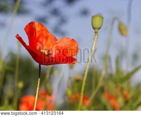 The Red Poppy Flower Produces A Shallow Depth Of Field And Soft Creamy Background. Other Names Are P