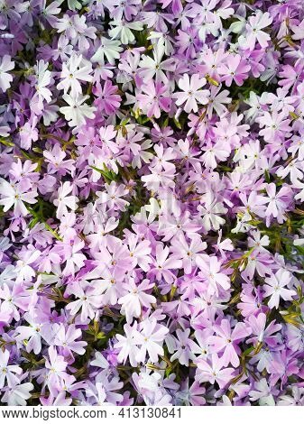 Moss Phlox Or Mountain Phlox Flowers Background. Purple Flowers For Background.