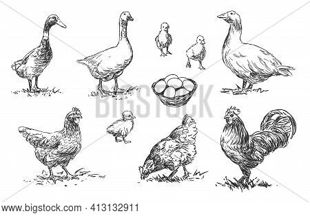 Poultry - Set Of Farm Animals Illustrations, Black And White Drawings