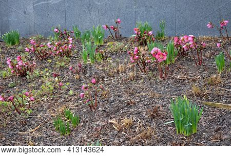 Flower Beds In Park In Early Spring. Hellebore Flowers Bloom And Onion Leaves Begin To Grow In Bark