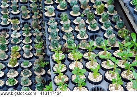 Several Succulents, Several Colors And Several Species In Small Pots Are Together Taking Sunlight In