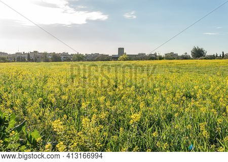 Field Of Yellow Wild Flowers Called Wild Mustards (sinapis Arvensis). Wild Plants From The Interior