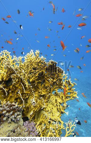 Colorful Coral Reef At The Bottom Of Tropical Sea, Yellow Fire Coral And Shoal Of Anthias Fishes, Un