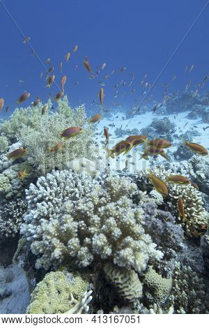 Colorful Coral Reef At The Bottom Of Tropical Sea, Hard And Soft Coral, Shoal Of Anthias Fishes, Und