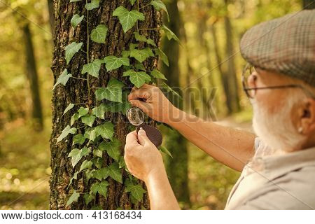 Back To Nature. Elderly Man Examine Tree Leaves With Magnifying Glass. Old Person In Woods Exploring