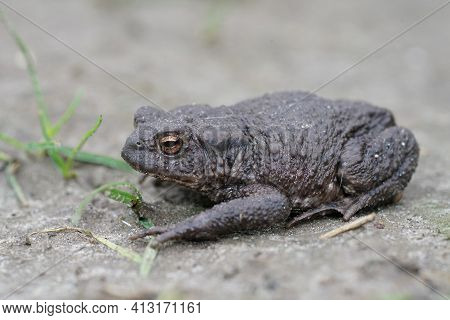 Full Body Closeup Of A Female Of The European Common Toad, Bufo Bufo In The Garden