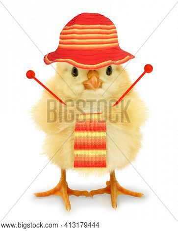Cute cool chick knitting knitwear as hobby leisure activity funny conceptual image