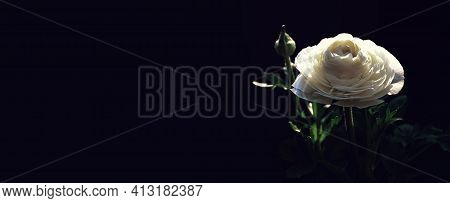 Sympathy Card  White Ranunculus Flower On Dark Background With Copy Space