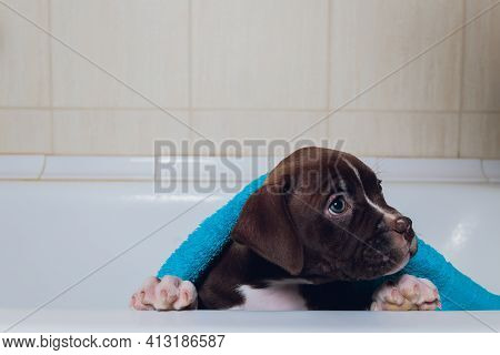 American Bully Bathing, Pitbull, Dog Cleaning, Dog Wet A Bath Turquoise Towel.