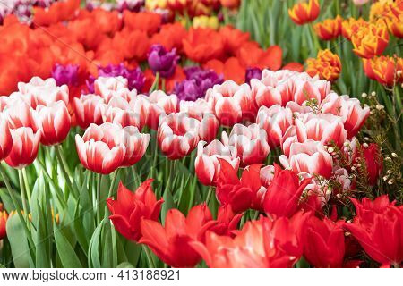 Spring Exhibition Of Beautiful Tulips Of Different Colors. Fresh Flowers In The Greenhouse At The Fl