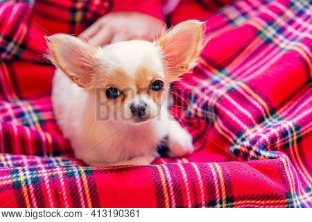 Cute Dog. White Chihuahua Puppy On A Red Plaid. Little Chihuahua Puppy Looking At The Camera. Puppy