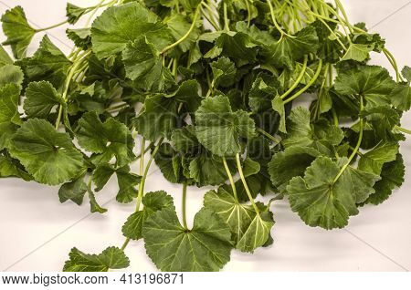 The First Spring Leaves With Stems Of Low-growing Herbs Of The Mallow Armenian, Used In Food