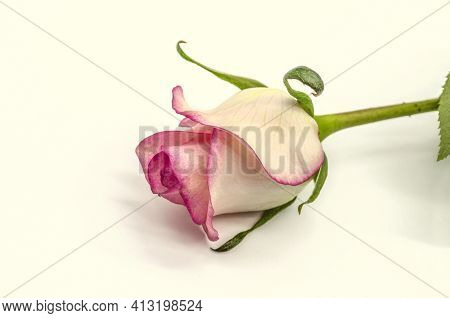 A White Rose Bud With A Pink Border At The Edges On A Long Stem Lies At An Angle From Above On A Whi