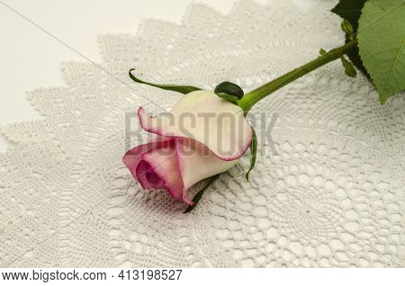 Half-open White Rose Bud With Pink Border On The Edges, With A Long Stem And Leaf Lies At An Angle O