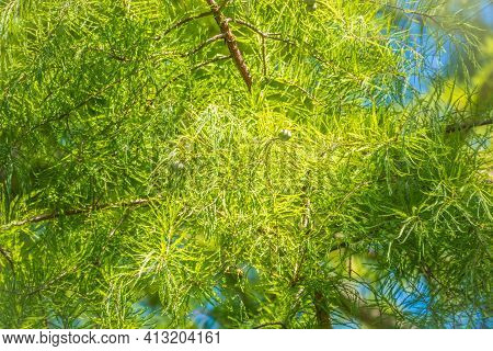 Leaves And Cones Of A Cypress Evergreen. Dense Cypress Branches With Needles And Fruits. Bald Cypres