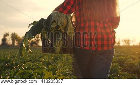 Agriculture. Farmer Girl In A Walk On A Green Field With Box. Business Natural Food Healthy Food Agr