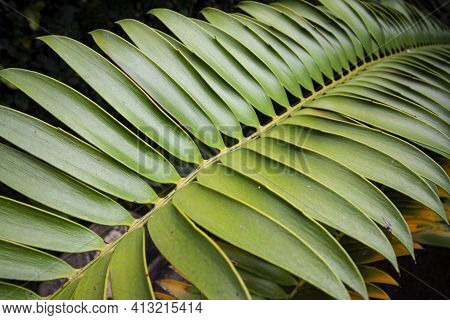 Close Up Of Large Green Leaf Of Cycad Plant