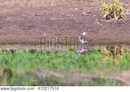 Foraging Migrant Common Sandpiper, Actitis Hypoleucos, Picking Up A Just Caught Invertebrate From Mu
