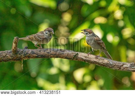 Two Detailed Sparrows, Seen From The Front, Sit On A Long Branch. One Bird Talks To The Other Sparro