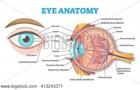 Eye Anatomy With Labeled Structure Scheme For Human Optic Outline Diagram