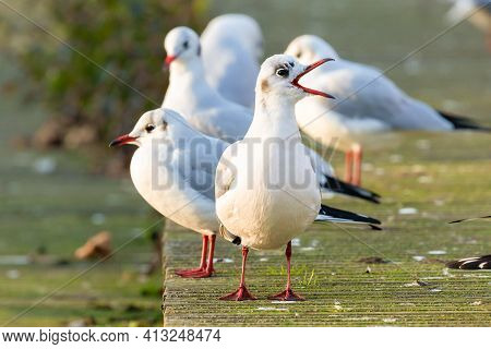 A Group Of Black Headed Gulls In Winter Basking In Sunrise Warmth With Beak Open. Most Of The Year T