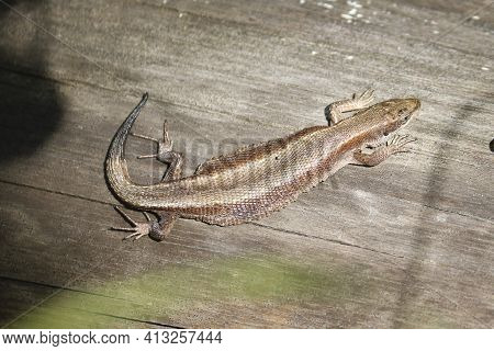 The Viviparous Lizard, Or Common Lizard, (zootoca Vivipara) Sits On An Old Dry Log And Bask In The S