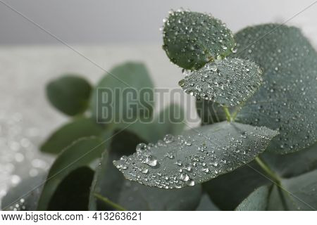 Fresh Eucalyptus Leaves With Dew Drops, Closeup. Space For Text