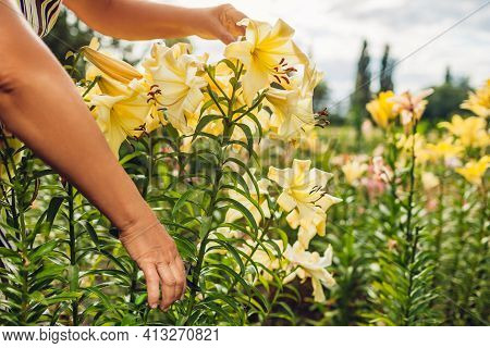 Senior Woman Gathering Flowers In Garden. Middle-aged Gardener Cutting Yellow Lilies Off With Pruner