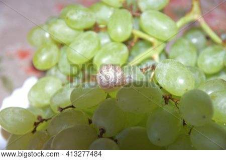 Small Snail Crawls On The Berry Of Large Grape Bunch, In Shade