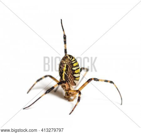 Wasp spider in distress hanging from its web, in a weird position