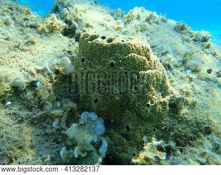 Sea Sponge Stinking Sponge (sarcotragus Sp. Fasciculatus Var.) Undersea, Aegean Sea, Greece, Halkidi