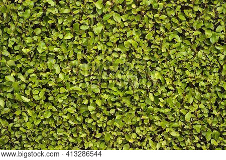 Beautiful Uniform Planting Background Of Laurel (laurus Nobilis) Hedge Fence, Dublin, Ireland. Green