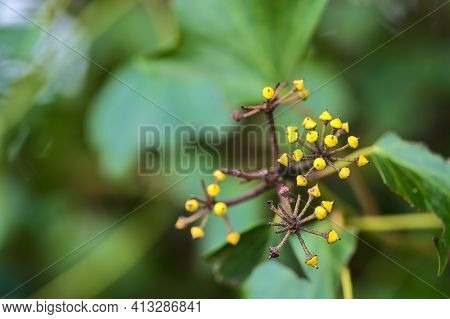 Beautiful Macro View Of Spring Green And Yellow Berries Of Ivy Hedera Helix (english Ivy) Plant Clin