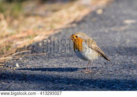 Little European Robin Bird Standing On The Road