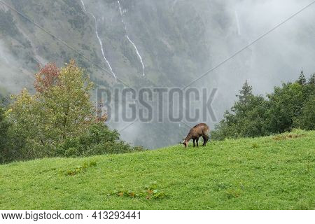 A Chamois Grassing Above The Valley Of Lauterbrunnen, Switzerland, In The Rain