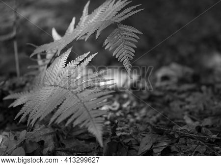 Fern Leaves In The Forest. Natural Green Fern Leaves Texture In The Forest Close-up On The Dark Back
